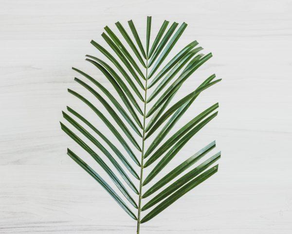 Robelina Palm